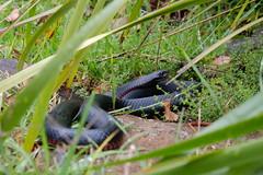 Red-bellied black snake (igomak) Tags: snake oreillys lamingtonnationalpark elapidae pseudechisporphyriacus redbelliedblacksnake