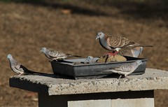 Bar-shouldered Doves ~ Geopelia humeralis ~ & Peaceful Doves ~ Geopelia placida ~ Mount Molloy School (Rowettia) Tags: birds australia queensland barshouldereddove geopeliahumeralis peacefuldove geopeliaplacida mountmolloy