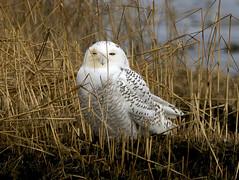 Long Wharf Snowy Owl with bad eye