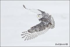 Backview (Earl Reinink) Tags: winter snow ontario canada nature nikon raptor owl earl bif snowyowl naturephotography birdinflight flicrk nikond4 earlreinink reinink vision:mountain=0614 vision:outdoor=099 vision:sky=0852 zzeaatadha