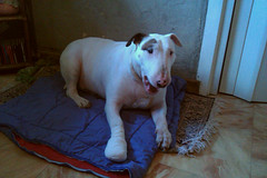 Back home (✿ abby_otter ✿❀ ❁ ✾) Tags: toby surgery bullterrier chirurgie