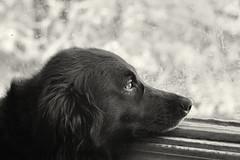 40/365 - Dogs Dare to Dream Too  (#78 Dare to Dream) (Keeperofthezoo) Tags: dog pet eye window looking canine inside daydream onyx dirtywindow petportrait daretodream