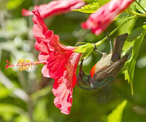 Greater Double-collared Sunbird, note  where the tip of the  beak finds nectar,_0792