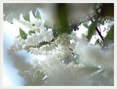 Deutzia magnifica (Maiblumenstrauch) | 2006-05 (Brigitte Rieser) Tags: flower garden austria flora bloom shrub blüte weiss garten niederösterreich strauch magnifica deutzia arbustre deutzie woodyperennial maiblumenstrauch klasseimgarten