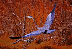 Red and Blue (Feathered Trail Photos) Tags: barnegat greatblueheron gbh mfcc