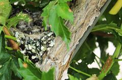 Pulcini (pierofc) Tags: green bird birds foglie little uccelli nido pulcini
