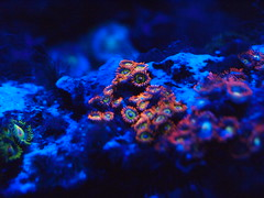 P2058463 (RANDI HORLICK) Tags: ocean fish macro animal animals aquarium sealife led exotic reef nano corals saltwater preservation ecosystem frag oceanlife