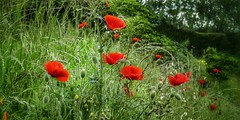 Hedgerow Poppies (Mazzlo) Tags: uk pink flowers red summer flower nature panasonic poppy poppies wildflowers hedgerow projectflickr fz150 panasonicdmcfz150 uploaded:by=flickrmobile flickriosapp:filter=nofilter