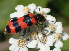 Gewhnlicher Bienenkfer (Trichodes apiarius) , NGIDn2038243255 (naturgucker.de) Tags: johannisberg altersteinbruch naturguckerde gewhnlicherbienenkfertrichodesapiarius cstefanknipf ngidn2038243255