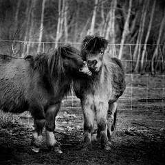 Petit poney Petit Baiser (Urvana) Tags: cheval mignon calin poney littledoglaughednoiret