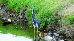 Tri-colored Heron (Jim Mullhaupt) Tags: blue wallpaper white lake bird heron nature water landscape pond nikon flickr purple florida outdoor background wildlife p900 swamp coolpix bradenton tricoloredheron wader mullhaupt nikoncoolpixp900 coolpixp900 nikonp900 jimmullhaupt