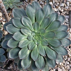 Chicago, Garfield Park Conservatory, Aeonium Plant (Mary Warren 13.5+ Million Views) Tags: chicago garfieldparkconservatory nature flora green leaves foliage succulent aeonium