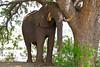 African Elephant (Loxodonta africana) bull resting under a big tree ... (berniedup) Tags: africanelephant loxodontaafricana taxonomy:binomial=loxodontaafricana lowersabie kruger