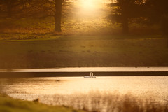 'Winter's End' (Jonathan Casey) Tags: swans romance sunset holkham hall norfolk nikon d810 400mm f28 vr