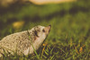 (Alvaro Álvarez) Tags: erizo hedgehog erinaceinae tiny little pet mascota canon tabasco mexico grass wild cute 50mm bokeh