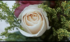 rose (miss.abr) Tags: rose focus photo photography canon d550 natural white flower تصويري كانون