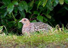 female Ring-necked Pheasant (miketabak) Tags: