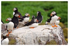 Puffin - I've been on my feet all day! (jeannie debs) Tags: puffin rock colourful beak orange feet island