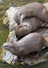 Otters (paulgmccabe) Tags: london nature animal mammal wildlife reserve otter wetlands otters barnes protected londonwetlandcentre wetlandcentre