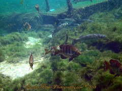 PICT0270 (2) (SantaFeSandy) Tags: county 2 fish water colors fauna flora sandra florida mullet sandy free scuba diving clear springs tiny nate catfish scubadiving fl pilings algae inches may22 count flounder wiggy gilchrist fanning 2013 sandykoster sandrakosterphotography sandrakosterphotographycom ewigman