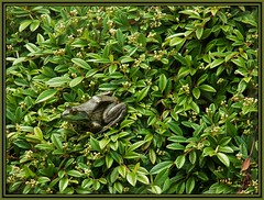 Where's Waldo? (MissyPenny) Tags: usa green leaves catchycolors spring pennsylvania frog buckscounty greenfrog peddlersvillage southeasternpa kodakz990 pdlaich missypenny