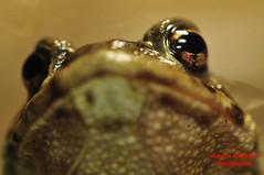 "Bufo bufo (rob.rin) Tags: naturaleza nature animals tiere natur amphibian natura toad animales roberto amphibians animaux rinaldi animali amphibious bufo kröten bufobufo anfibios amphibia anfibio amphibien bufonidae anfibi rospo amphibiens crapauds erdkröte froschlurche anuro anuros crapaudcommun anoures anuri rospocomune robertorinaldi ""european ""common común"" toad"" ""echten kröten"" ""sapo ""sapoanurans europeo"""