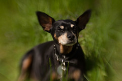 "Day 146 - Max says ""stop taking my picture"" (Sharon's Shotz) Tags: dog pet lensbaby canine minpin day146 minaturepinscher canoneos7d canon7d day146365 lensbabycomposer 3652013 365the2013edition 26may13"