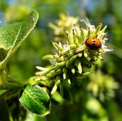 ladybird (DawnWarrior) Tags: macro tree sunshine insect ladybird buds fujix10 dawnwarrior