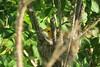 Paruline  28 Mai 2013 008 (Diane.G.) Tags: coth supershot specanimal avianexcellence damniwishidtakenthat bestofdamn coth5 lesamisduparcdesrapides thesunshinegroup