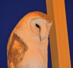 Barn Owl (Sarah and Simon Fisher) Tags: canon photography dslr warwickshire stratford barnowl