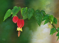 Abutilon megapotamicum (DSC_8776) (Jos Luis Prez Navarro) Tags: red naturaleza flower green texture textura primavera nature spring andaluca spain nikon flor natura abutilon jan viveros d60 andjar nikond60 blacky2007 josluisprez ringexcellence frameitlevel1 viverosdivinapastora