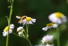 Saison (deta k) Tags: flowers macro berlin germany deutschland flora natur pflanzen blumen insekten blten nikond7100