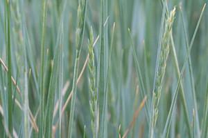 Photo - Western Wheatgrass