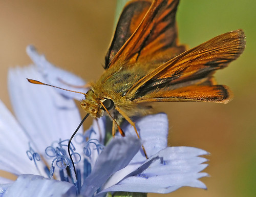 Photo - close up of a skipper butterfly nectaring at a Chicory flower.