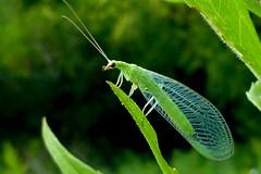 P1070994 (claymore2211) Tags: green monochrome wings bokeh insects bugs winner thumbsup lacewing greenlacewing doff friendlychallenges ultrahero thechallengefactory superherochallenges herowinner