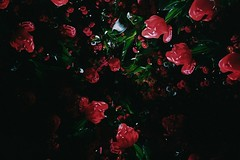 Tulip smash 1 (sonofwalrus) Tags: flowers red film festival petals lomo lca lomography tulips australia scan canberra floriade splitzer hpc5380