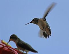 Cedar City Hummingbirds, August 2013 (1) (Bob Palin) Tags: 15fav usa bird utah hummingbirds cedarcity 100vistas instantfave ashotadayorso orig:file=20130824eos60d1016111024