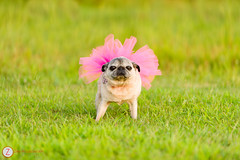 Myrtle Turtle (zane.hollingsworth) Tags: love pug myrtle tutu puglove 200mm myrtleturtle nikond800 20035mmeq