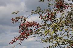 Weißdorn am Ostermoor bei Seeth; Norderstapel, Stapelholm (3) (Chironius) Tags: norderstapel stapelholm schleswigholstein deutschland germany allemagne alemania germania германия niemcy frucht fruit frutta owoc fruta фрукты frukt meyve buah rosids fabids rosales rosenartige rosaceae rosengewächse rosoideae pyreae kernobstgewächse pyrinae crataegus weisdorn