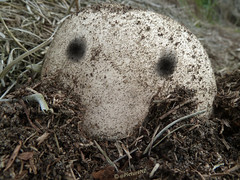 Kilroy Was Here (Steve Taylor (Photography)) Tags: macro mushroom grass closeup nose eyes kilroy kilroywashere earthdirt