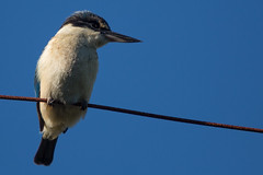 The Neighbour's Back! (duncan_mclean) Tags: bird wire telephone kingfisher local devonport neigbour