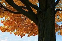 Stalwart (imageClear) Tags: november autumn orange color tree fall nature leaves yellow wisconsin season photography gold photo nikon flickr image branches treetrunk trunk strong tall sheboygan photostream naturephotography 35mmf18 stalwart d7000 imageclear