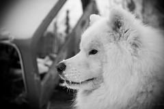 Ptarmigan Mine Nov 11, 2013 (nwtarcticrose) Tags: samoyed quinn northwestterritories kody yellowknife snowdogs samoyeds ingrahamtrail ptarmiganmine