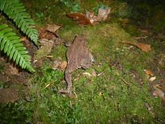 toad 2 (montyayr) Tags: toad