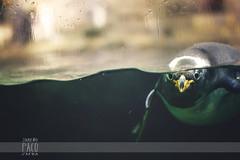 Pingins (Paco Jareo Zafra) Tags: valencia animal canon paco mirada cristal polo zafra norte pecera pingino oceanogrfico pinginos 500d jareo penwin pacosrulz