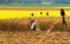 The field of gold (Catch the dream) Tags: birds crop farmer agriculture bangladesh paddyfield chuadanga