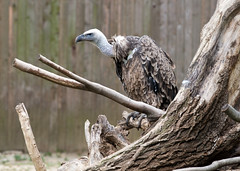 "Ruppell's griffon vulture • <a style=""font-size:0.8em;"" href=""http://www.flickr.com/photos/30765416@N06/11393259544/"" target=""_blank"">View on Flickr</a>"