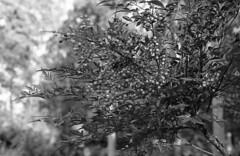 Heavenly bamboo_3 (odeleapple) Tags: film nikkor50mmf18 nikonf2 heavenlybamboo neopan100acros