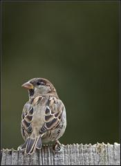Garden sparrow - my garden  :-) (kimbenson45) Tags: brown black green bird animal fence garden beige dof posed sparrow perched softbackground differentialfocus