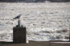 Frozen Hudson River in Kingston, New York January 2014 (Anthony Quintano) Tags: park winter ny newyork cold ice water seagull january kingston tugboat hudsonriver 2014 rhinecliffbridge